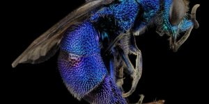 mosca azul