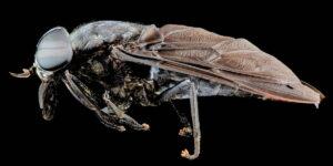 Mosca Tábano-Tabanidae