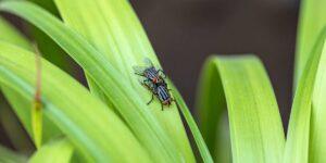 Reproducción de la mosca