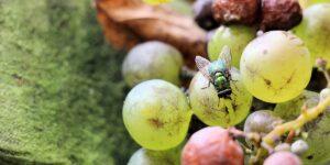 Síntomas de enfermedades por moscas