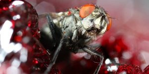 larva-mosca